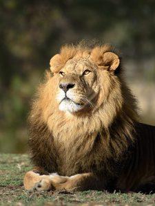 יום האריות הבינלאומי